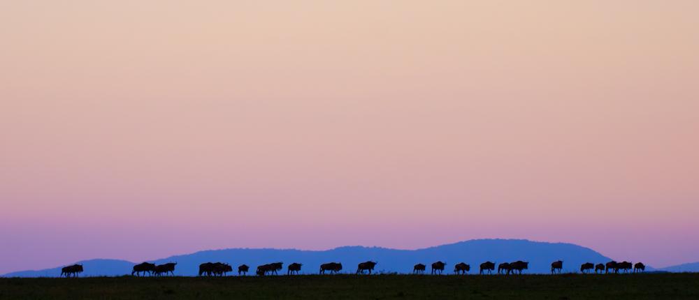 Wildebeest in The Mara