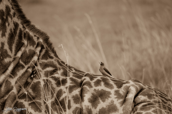 oxpecker on giraffe's back