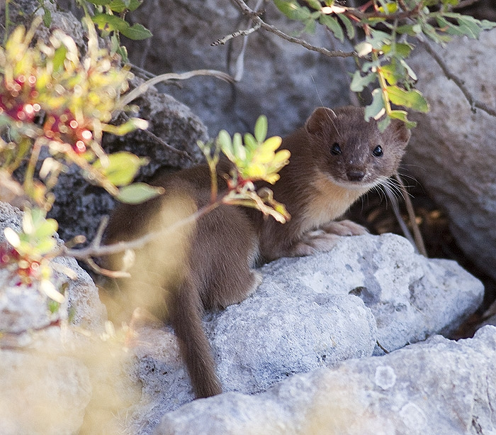 Maltese weasel or Ballotra | Photo by Raymond Galea