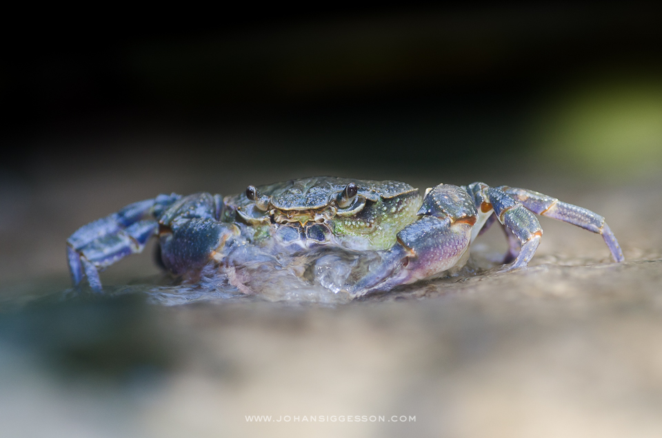 Maltese Freshwater Crab - low angle