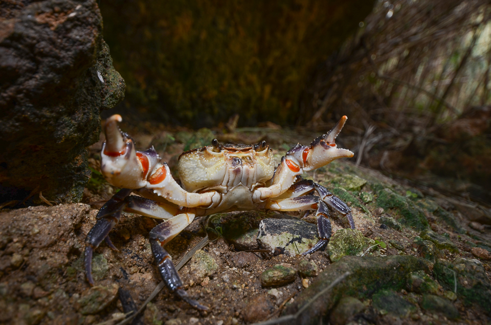 Maltese fresh water crab (Qabru in Maltese)