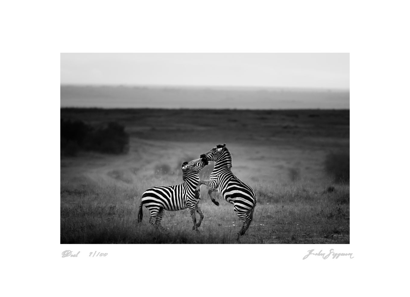 limited edition prints johan siggesson wildlife and art