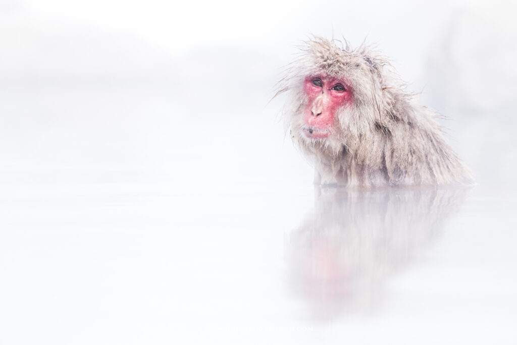 Japanese macaque in hot spring