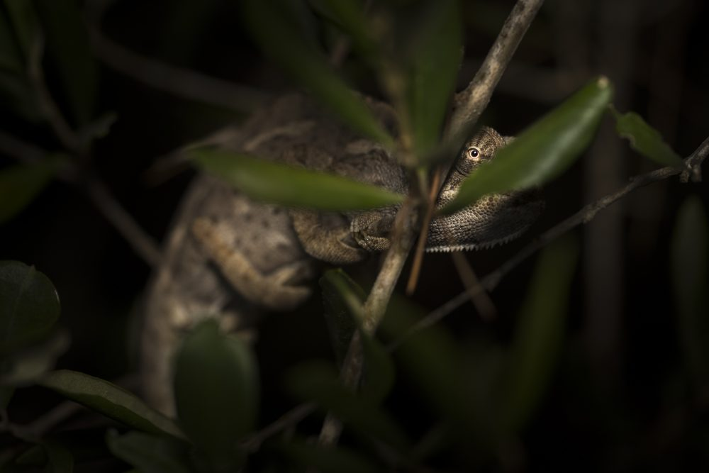 Common Chameleon by night in Malta