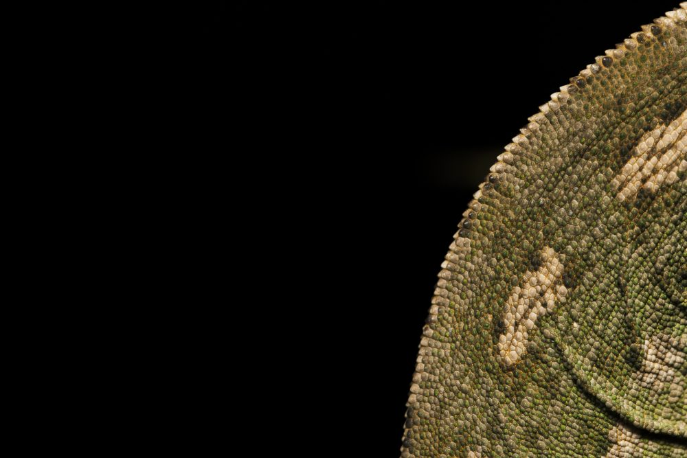 Common Chameleon in Malta