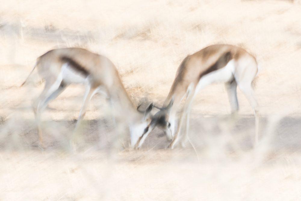 Springbok sparring