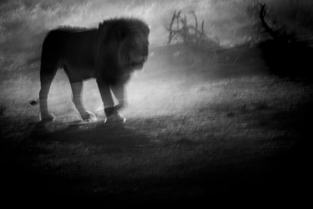 Through the Dust   Lion in Kalahari