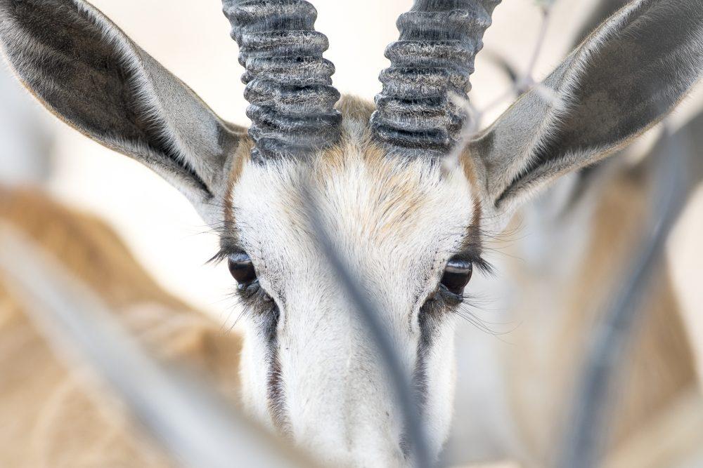 Fine Art Prints | Kalahari Springbok