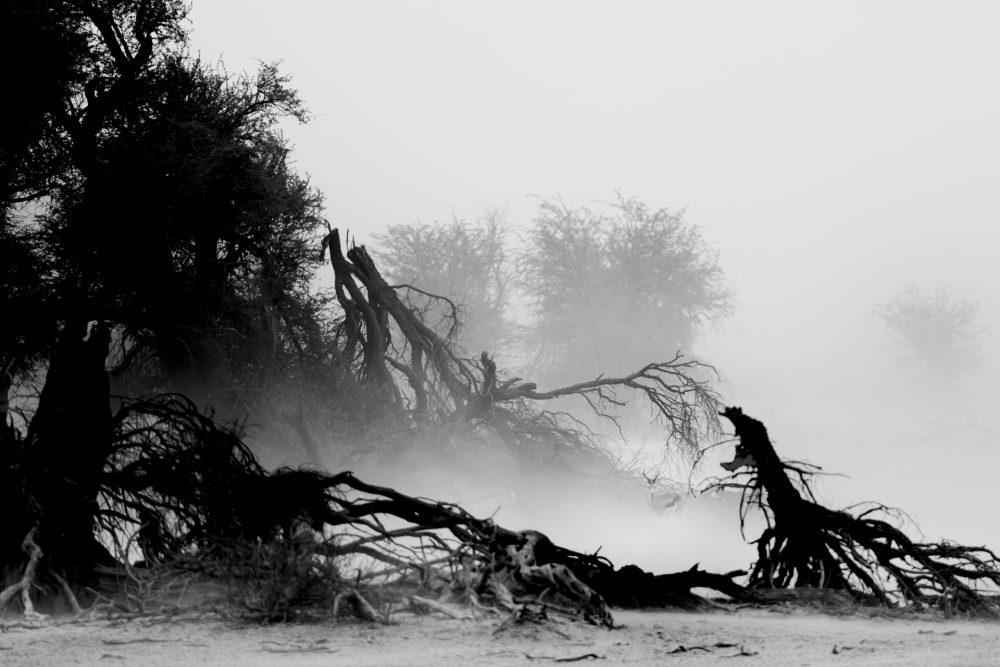 sandstorm in the Kalahari with Springbok