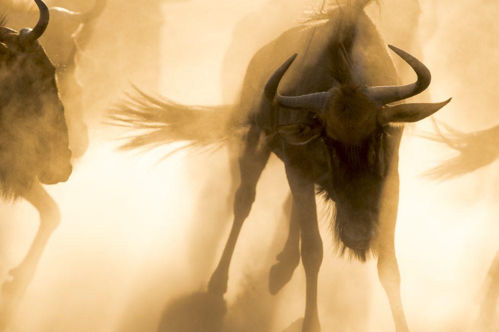 Wildebeest against the sun