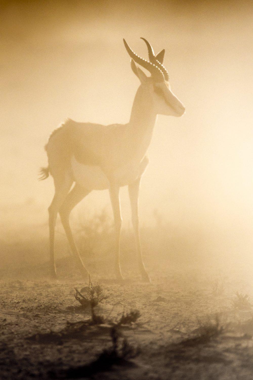 Springbok in dust