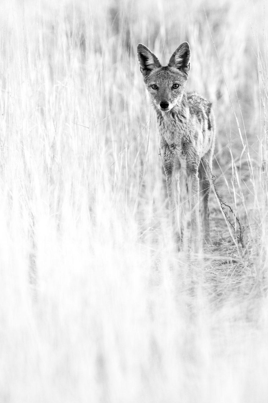 Jackal in Kalahari