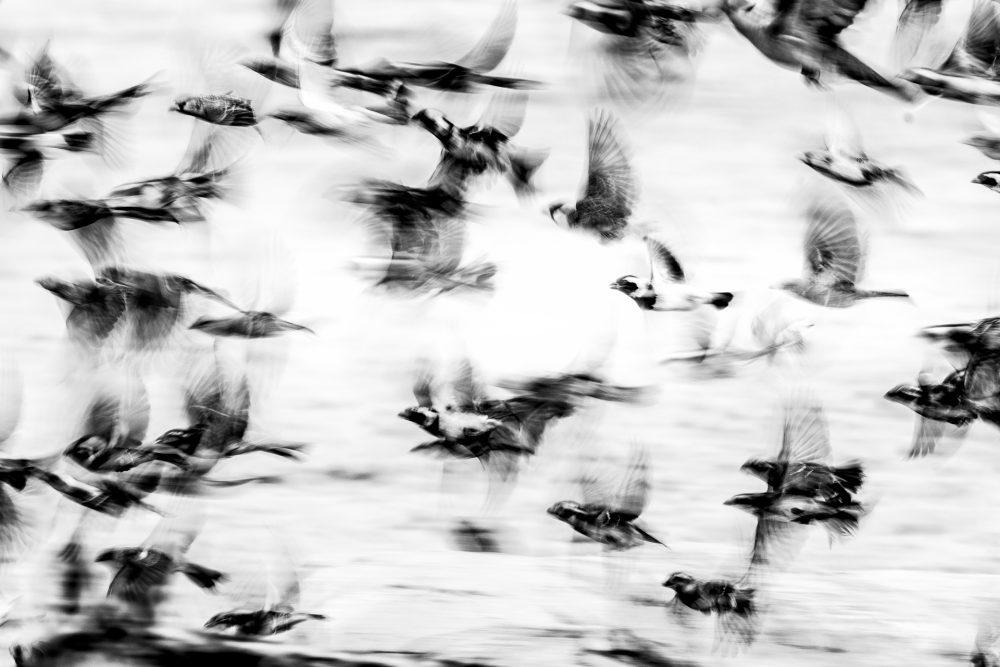 Cape Sparrows fleeing the waterhole