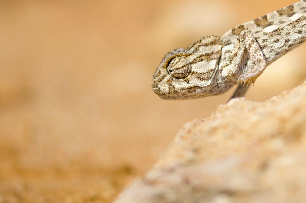 Chameleon in Malta