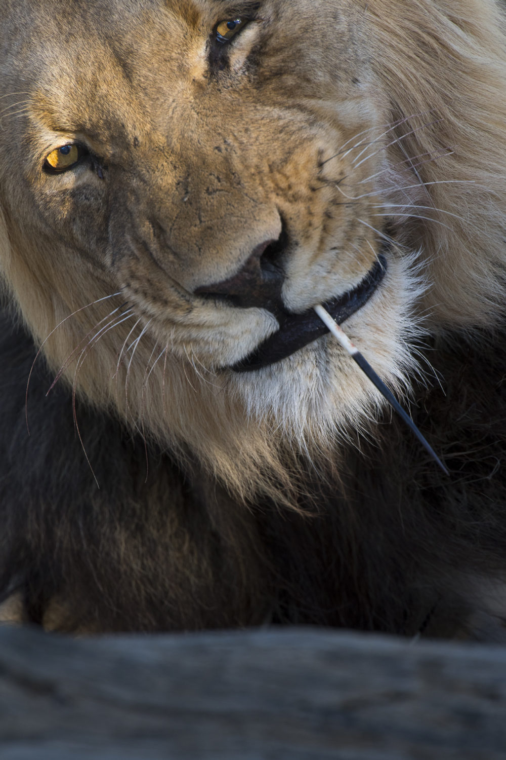Kalahari male lion with porcupine quill