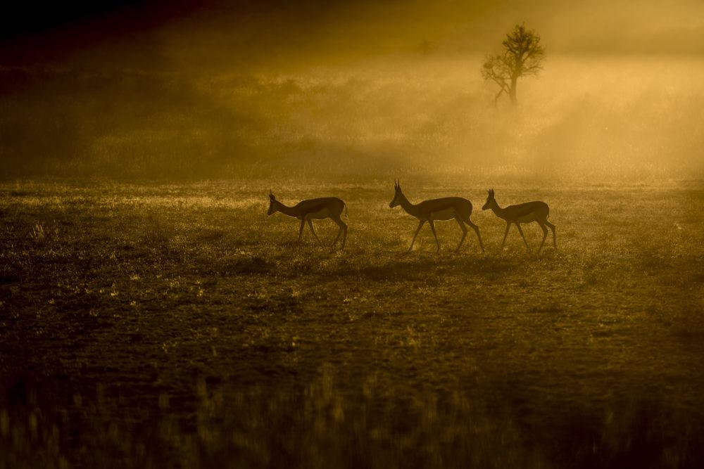 Springbok against the sun in Kalahari