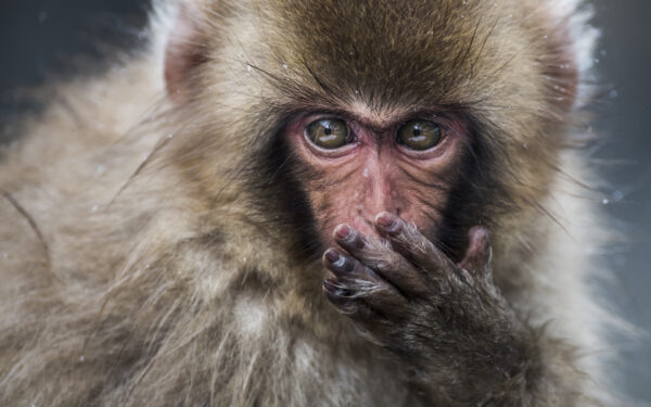 From me to you | Fine art print of Japanese macaque