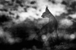 Black and White Caracal
