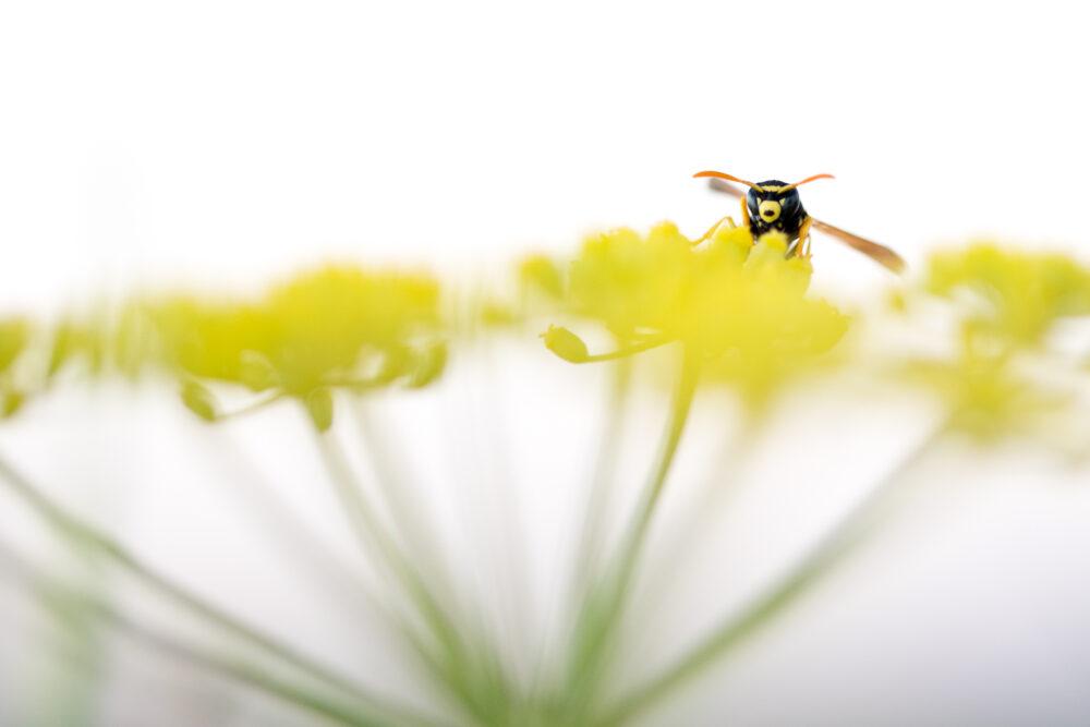 wasp in malta