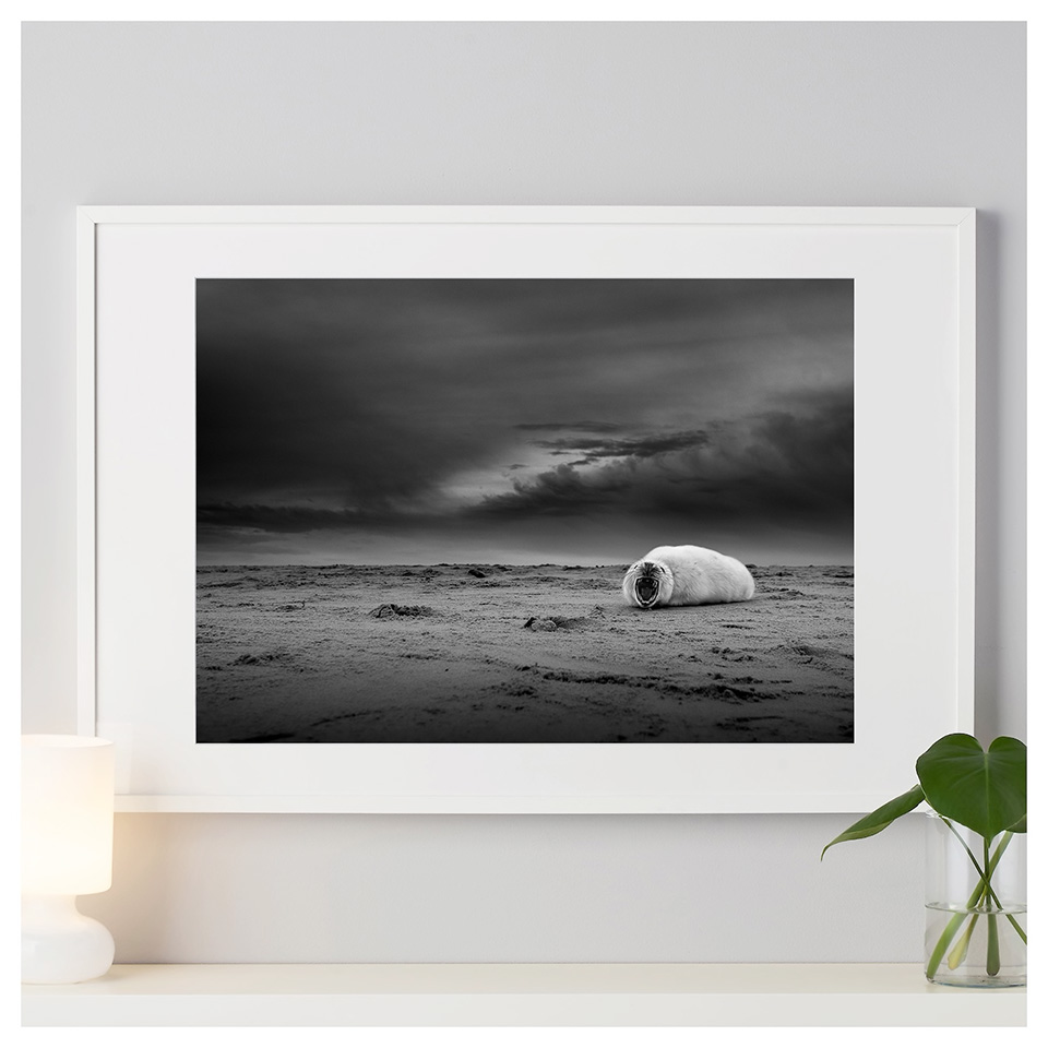 Fine art print of Grey seal pup on a beach in the UK.