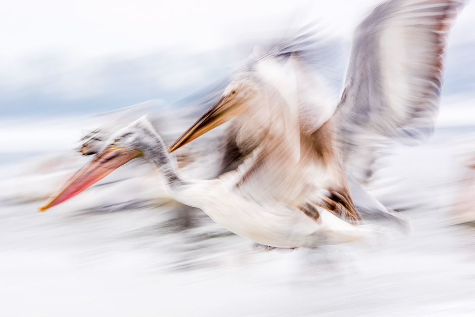 Dalmatian pelican taken using ICM