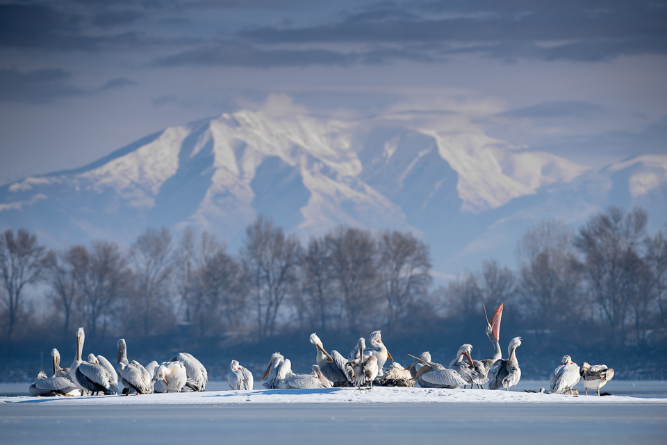 Dalmatian Pelicans on ice with mountain backdrop