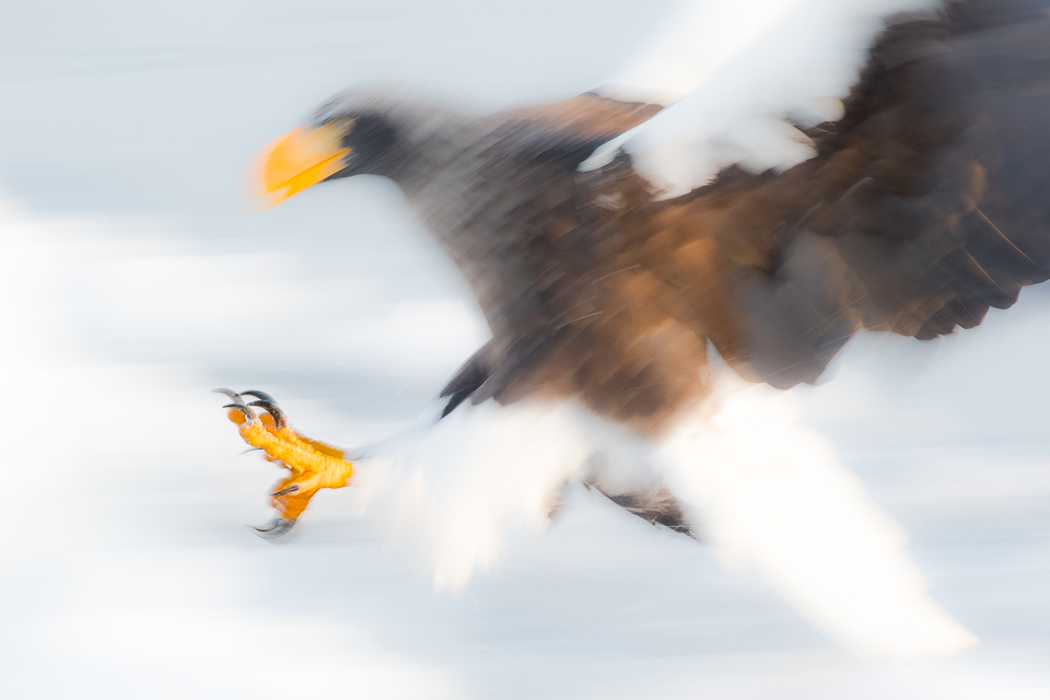 Steller's Sea Eagle from Japan