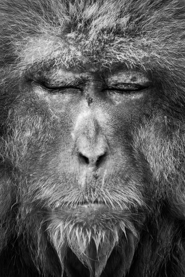 Monkey Portraits | Snow Monkey | Fotoresa
