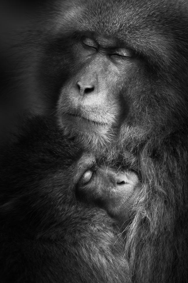 Japanese Macaque | Fine art