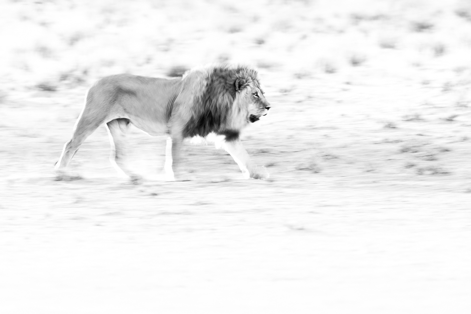 Lion Prints in Black and White | African Animals