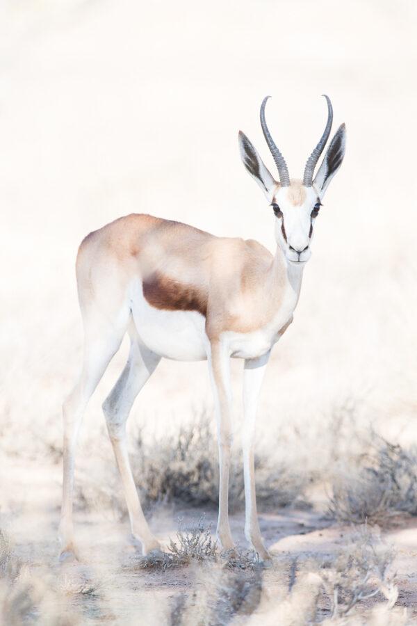 Stenantilop på fotoresa i Kalahari Sydafrika