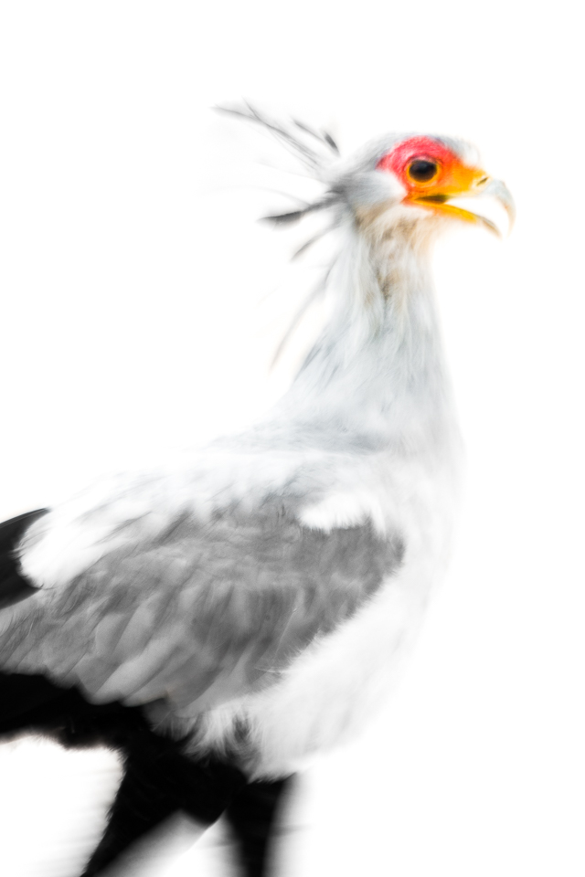 Secretary bird in Kalahari