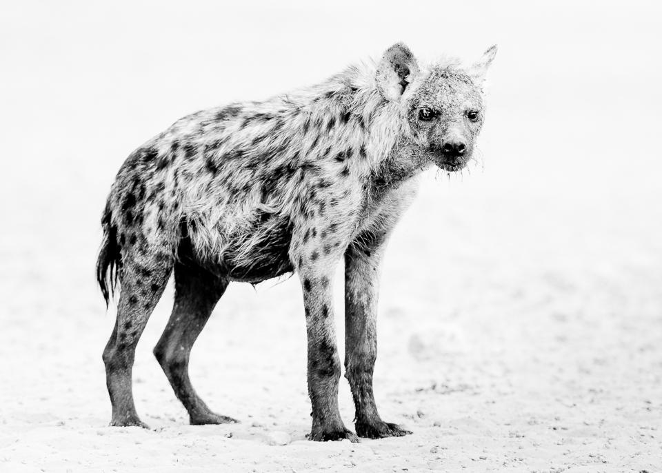 Spotted Hyena in the Kalahari Desert | Black and White