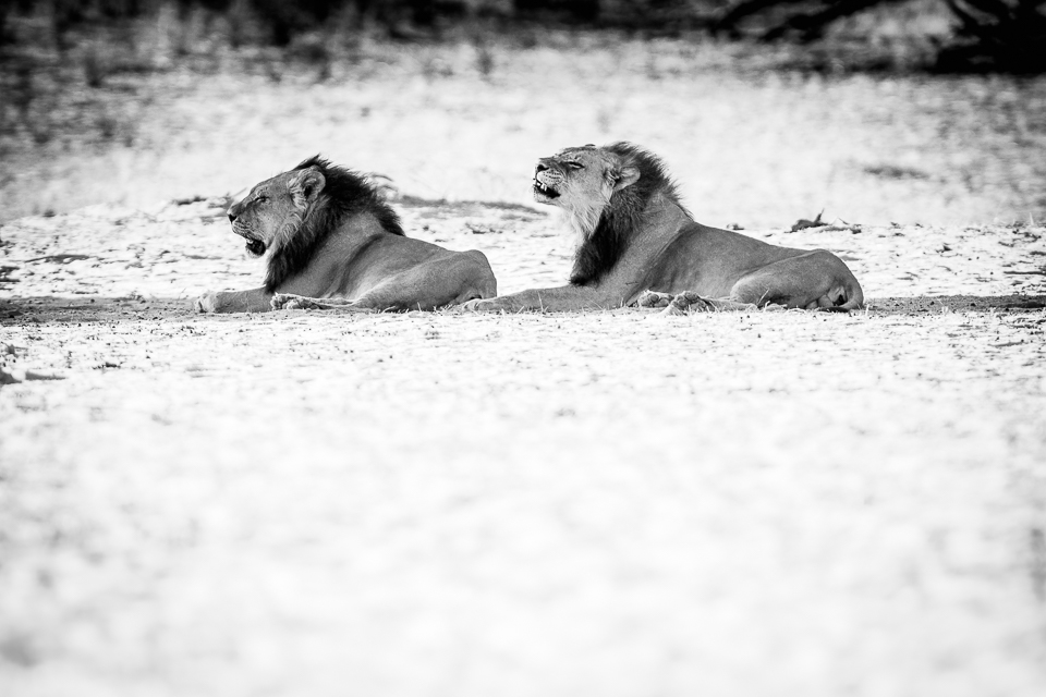 Two male Kalahari Lions