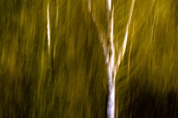 Birch trees with ICM