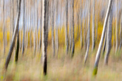 Swedish birch forest