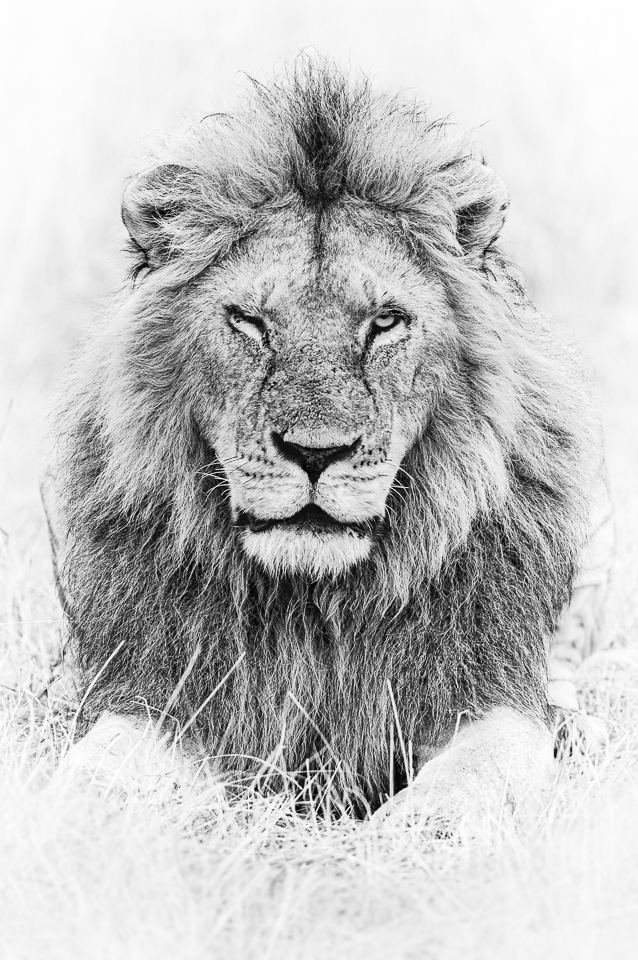 Lion Portraits | Fine Art | Wall Art