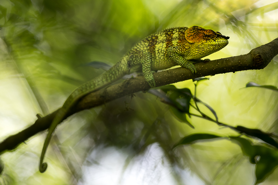 Colourful Elephant-eared chameleon in Amber Mountain National Park in northern Madagascar.