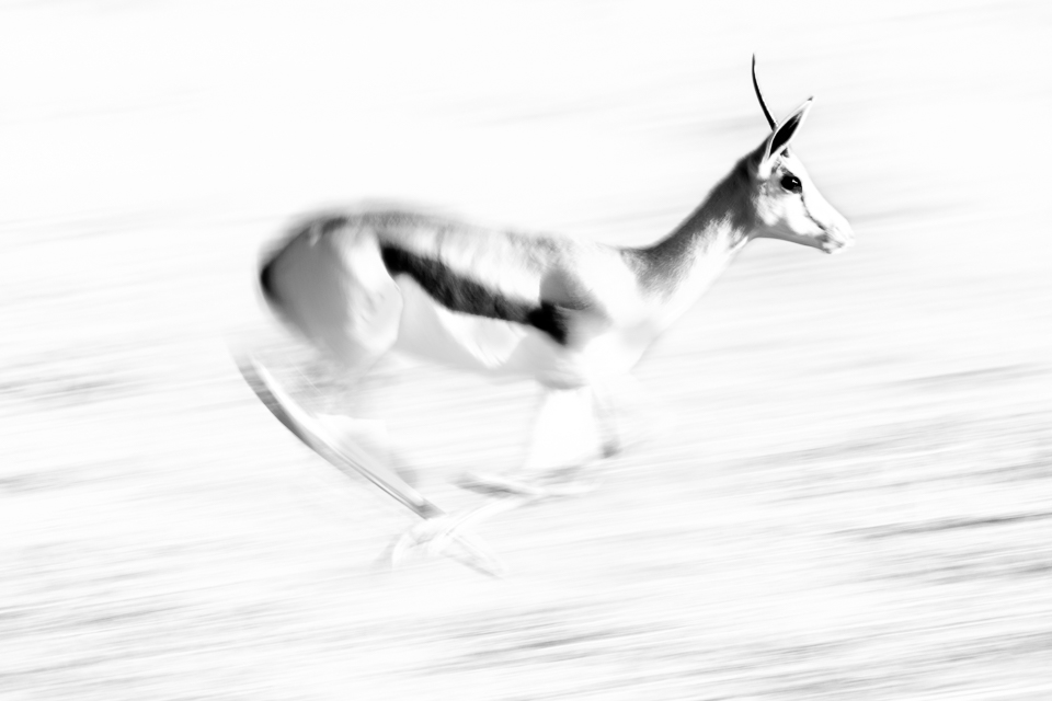 Wildlife Photography | Springbok in South Africa | Fotoresor