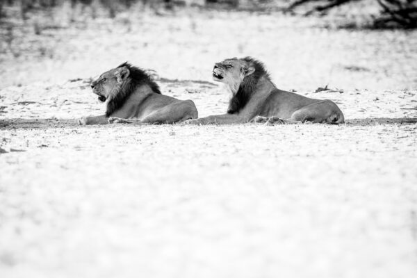 High-key photography. Two lions resting in a narrow sliver of shade.