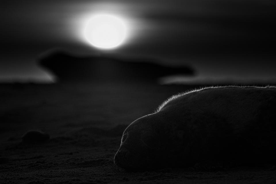 """Walking with Seals""  Fine art animal photography black and white print from my Premium Collection.   Two Grey seals at a beach in the UK with the rising sun as a background."