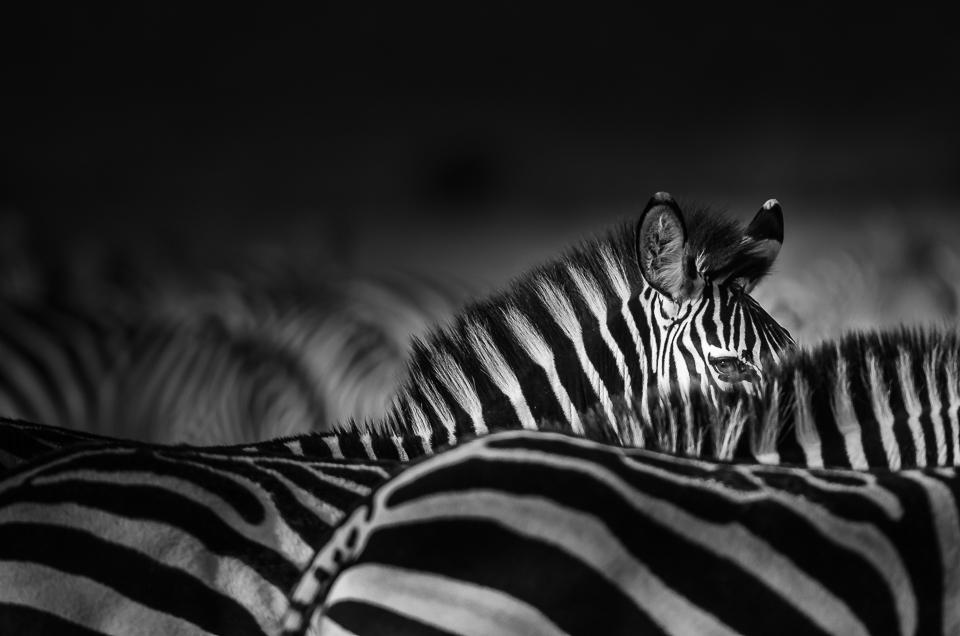 African Wildlife | Zebra Portraits