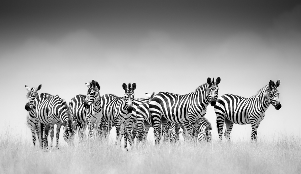 Dazzle of Zebras from the Masai Mara