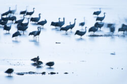 Common Cranes at Lake Hornborga in Sweden